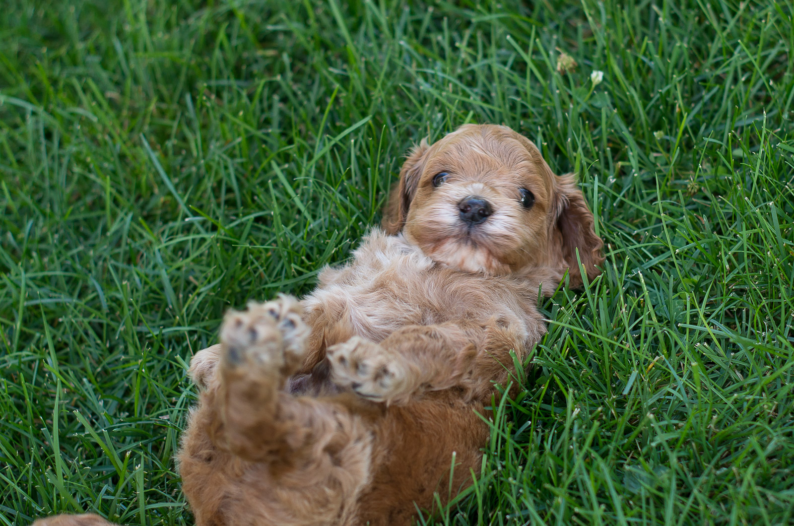 Cockapoo puppies for sale | Czechia | Pets4Homes